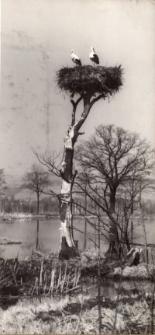 Bociany - na gnieździe [Dokument ikonograficzny]