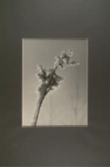 Kwiat ze szronem [Dokument ikonograficzny]