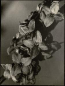 Wilcze łyko [Dokument ikonograficzny]