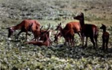 Chmara jeleni [Dokument ikonograficzny]